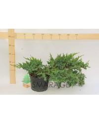 Можжевельник чешуйчатый - Juniperus squamata Hunnetorp (диаметр 30-40 см, горшок 5л)