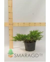 Можжевельник горизонтальный - Juniperus horizontalis Andorra Variegata (диаметр 30-40 см, горшок 5л)