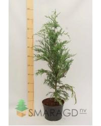 Можжевельник скальный - Juniperus scopulorum Moonglow (высота 100см, горшок 7,5л)