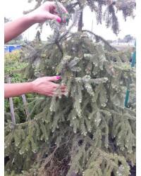 Ель сербская - Picea omorika (высота 240-260см,С45л.)