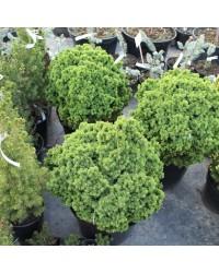 Ель канадская  - Picea glauca Alberta Globe (высота D 20-30, горшок C 5)