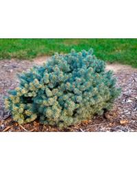 Ель колючая - Picea pungens St Marys Broom (горшок C 12, диаметр D 30-40)