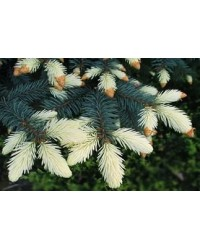Ель колючая - Picea pungens Bialobok Pa (горшок C 40, высота Pa 60-80)