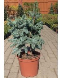 Ель колючая - Picea pungens Oldenburg (горшок C 10, высота H 50-70)