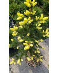 Ель колючая - Picea pungens Maigold (высота H 30-40, горшок C 5)