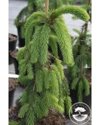 Ель обыкновенная - Picea abies Pendula Major (высота 80-100см, горшок 10л)