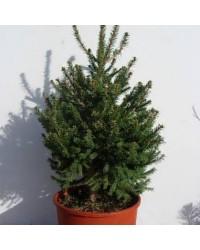 Ель обыкновенная - Picea abies Compacta (горшок C 12, высота H 35-45)