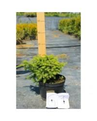Ель обыкновенная - Picea abies Nidiformis (высота D 20-30, горшок C 5)