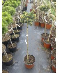 Ель обыкновенная- Picea abies WB Plane(высота 50-70 см, горшок 10л)