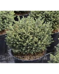Ель сербская - Picea omorica Karel (высота D 10-15, горшок C 2)