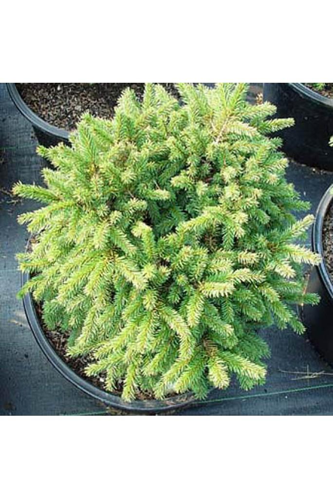ель обыкновенная Picea Abies Pumila Nigra горшок C 75 купить
