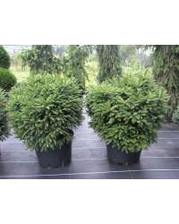 Ель обыкновенная - Picea abies Barryi (высота D 30-40, горшок C 20)