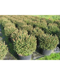 Ель обыкновенная - Picea abies Barryi (высота D 20-30, горшок C 5)
