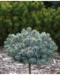 Ель колючая - Picea pungens Blue Ball Pa (горшок C 10, высота Pa 60-90)