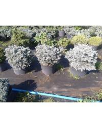 Ель колючая - Picea pungens Glauca Globosa (высота 40-60см, горшок 15л)