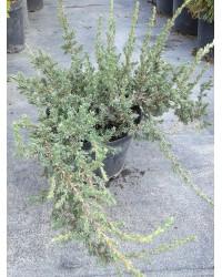 Можжевельник обыкновенный - Juniperus communis Zeal (диаметр 15-20 см, горшок 5л)