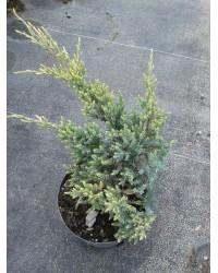 Можжевельник чешуйчатый - Juniperus squamata Holger (диаметр 20 см, горшок 2л) Можжевельник SmaragdNV - інтернет магазин розсадника декоративних рослин