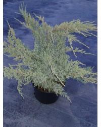 Можжевельник чешуйчатый - Juniperus squamata Holger (диаметр 30-40 см, горшок 5л)