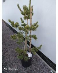 Сосна мягкая - Pinus flexilis Vanderwolfs Pyramid (высота 120см, горшок 15л)