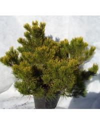 Сосна горная - Pinus mugo Winter Gold (діаметр 30-40см, горшок 15л)