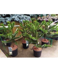 Араукария-Araucaria(H 40-50см,горшок 7,5л)