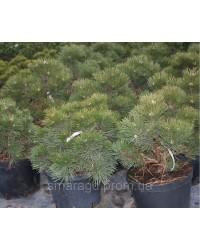 Сосна черная - Pinus Nigra Hornibrociana (высота D 20-30, горшок C 5)