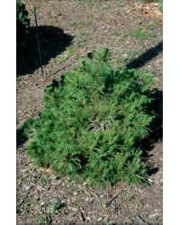 Сосна горная - Pinus mugo Corley`s Mat (высота 30 см, горшок 7.5л)