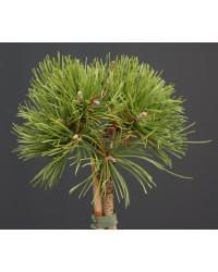 Сосна горная - Pinus mugo Corley`s Mat (высота Pa 80-100, горшок C 15)