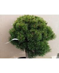 Сосна горная - Pinus mugo Liliput (диаметр 30-40 см, горшок 12л)