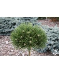 Сосна черная - Pinus nigra Hornibrociana (высота Pa 95-105, горшок C 10)