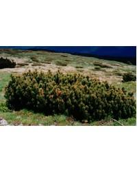 Сосна горная - Pinus mugo Almhutte (диаметр 30-40 см, горшок 12л)