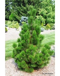 Сосна белокорая - Pinus leucodermis Emerald Arrow (горшок C 15, высота H 80-120)