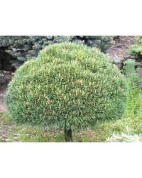 Сосна крючковатая - Pinus uncinata Nana Pa(горшок C 10, высота Pa 80-100)