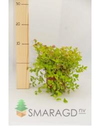 Спирея - Spiraea japonica Goldmound (висота 20-30см) Спирея SmaragdNV - інтернет магазин розсадника декоративних рослин Spiraea japonica Goldmound - низкорослый декоративный лиственный кустарник высотой до 0,6 м и диаметром кроны до 1,2 м.