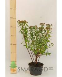 Спирея - Spiraea japonica Anthony Waterer (висота 10-20см, горщик 2л)