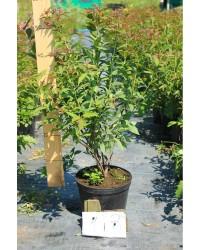 Спирея - Spiraea japonica Anthony Waterer (высота 30-50см, горшок 5л)