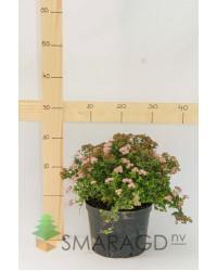 Спирея - Spiraea japonica Little Princess С2(высота 20-30см) Спирея SmaragdNV - інтернет магазин розсадника декоративних рослин Спирея японская Литл Принцессполностью оправдывает свое название.