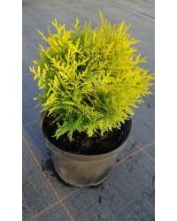 Туя западная - Thuja occidentalis Mirijam ® (диаметр 20-30см, горшок 5л) Туя SmaragdNV - інтернет магазин розсадника декоративних рослин  Туя западная МириамНазвание лат.