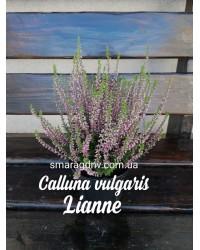 Вереск обыкновенный - Calluna vulgaris Lianne (горшок Р12)