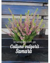 Вереск обыкновенный - Calluna vulgaris Samara