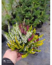 Вереск обыкновенный - Calluna vulgaris Mix (горшок Р12)