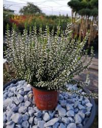 Вереск обыкновенный - Calluna vulgaris Valeria (горшок Р12)
